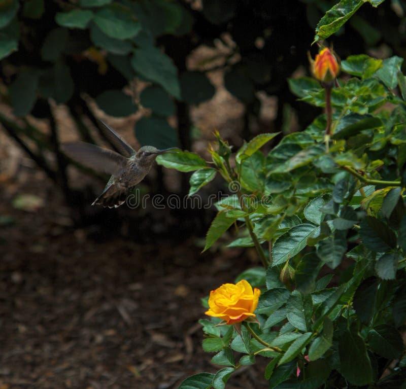Il colibrì visita le rose nel parco della balboa, San Diego immagini stock libere da diritti