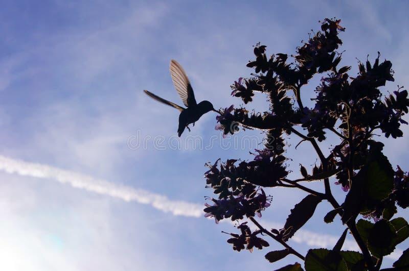 il colibrì vola a miele immagine stock