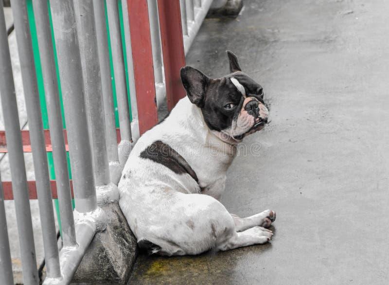 Il colore bianco nero del cane del carlino sedersi sul pavimento bagnato del cemento dopo la pioggia e sull'esame del vostro cane fotografia stock