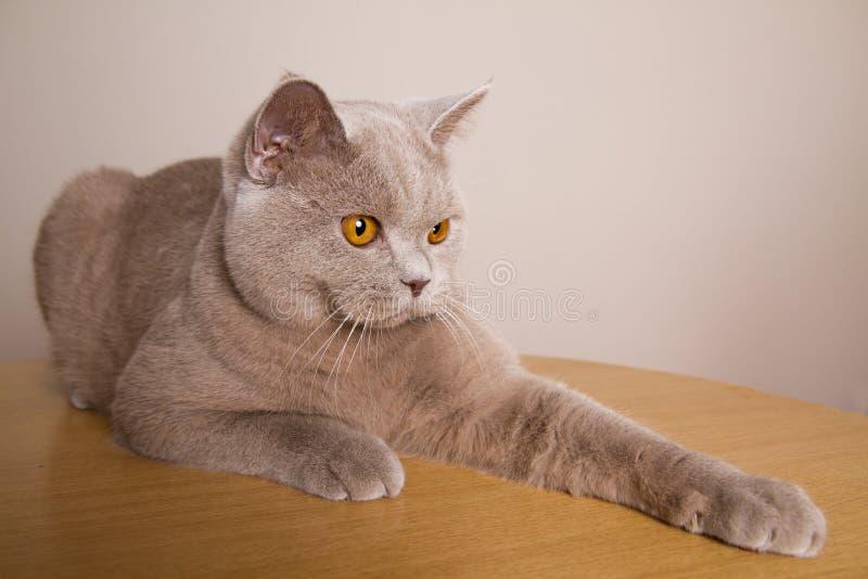 Il colore marrone chiaro del gatto britannico è piacevole sulle zampe di sguardo in avanti della tavola allungate davanti lui immagini stock