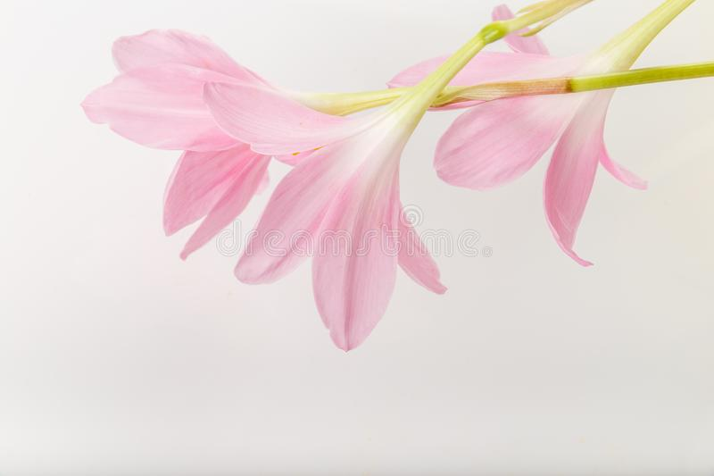Il colore pastello rosa fiorisce delicatamente su un fondo bianco Copi lo spazio Compleanno, ` s, biglietti di S. Valentino, ` s, fotografie stock libere da diritti