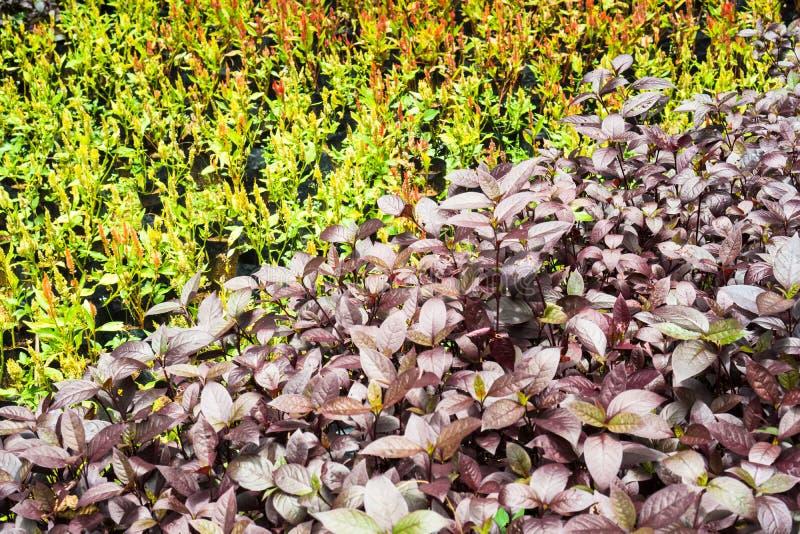 Il colore porpora lascia il cespuglio nel giardino della botanica con la tonalità differente di colore nel fondo immagine stock libera da diritti