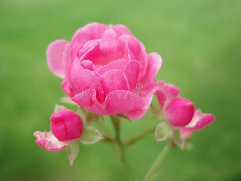 Download Il colore rosa è aumentato immagine stock. Immagine di parco - 220839