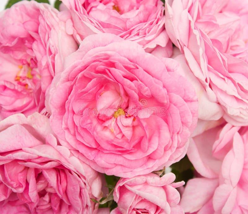 Download Il colore rosa è aumentato immagine stock. Immagine di molti - 55352215