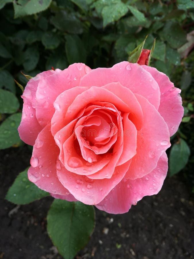 Il colore rosa è aumentato con i waterdrops fotografia stock