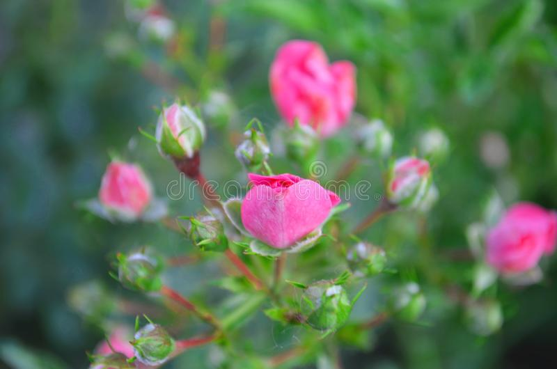 Il colore rosa ? aumentato Natura, estate fotografia stock