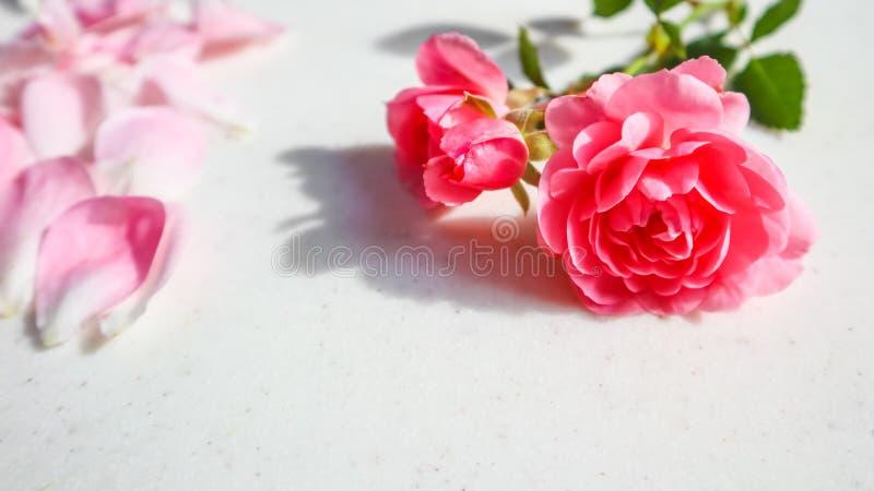 Il colore rosa ? aumentato su priorit? bassa bianca Perfezioni per le cartoline d'auguri del fondo e gli inviti delle nozze, il c immagini stock libere da diritti