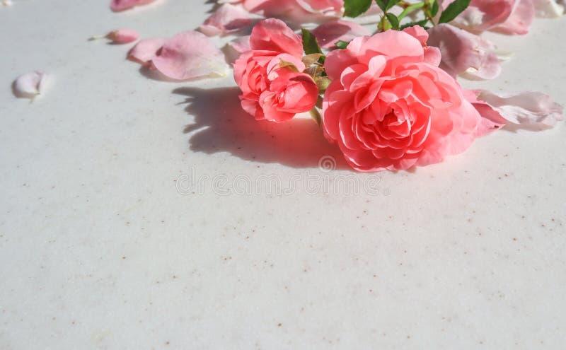 Il colore rosa ? aumentato su priorit? bassa bianca Perfezioni per le cartoline d'auguri del fondo e gli inviti delle nozze, comp immagini stock