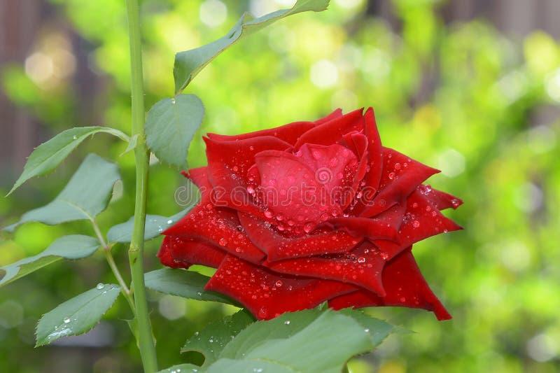 Il colore rosso è aumentato con goccia dell'acqua fotografie stock libere da diritti