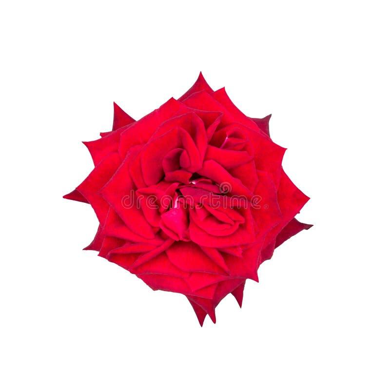 Il colore rosso è aumentato sui precedenti bianchi immagini stock