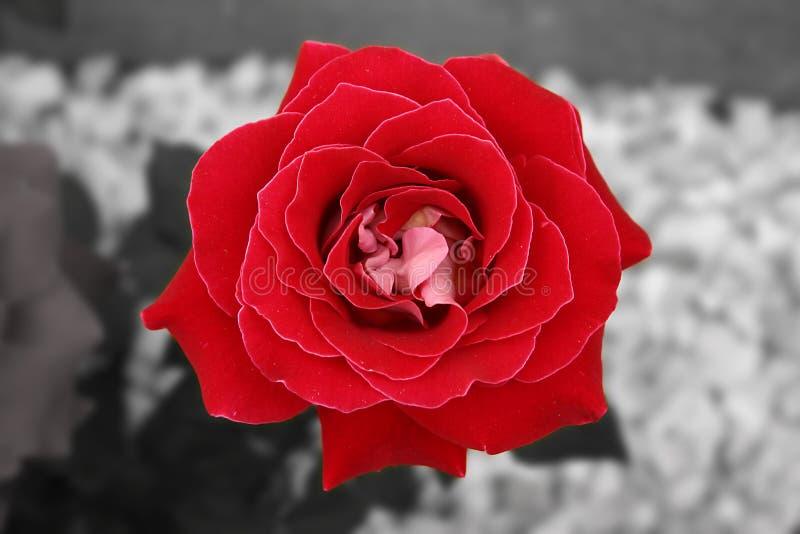 Il colore rosso & il bianco sono aumentato fotografia stock