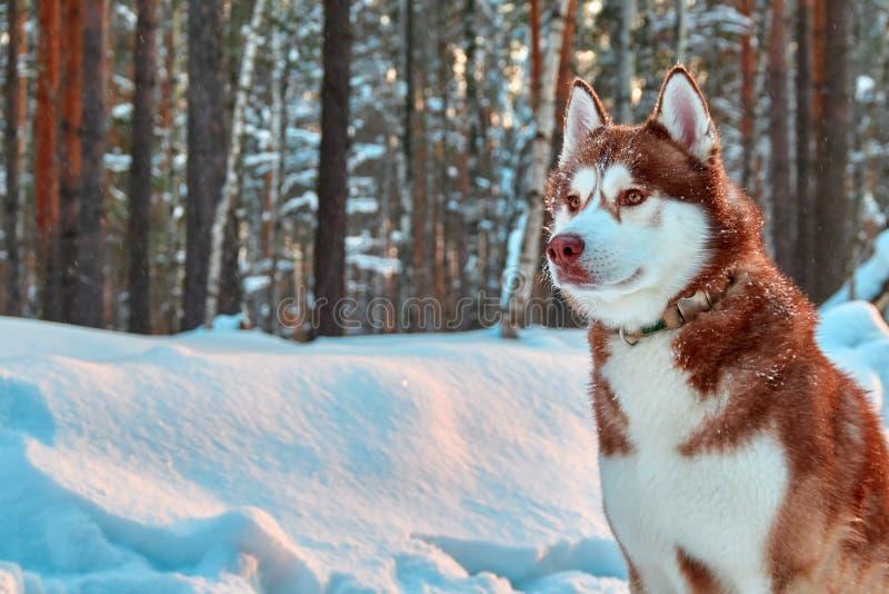 Il colore rosso del bello cane del husky siberiano si siede nello spazio della copia della foresta dell'inverno immagini stock libere da diritti