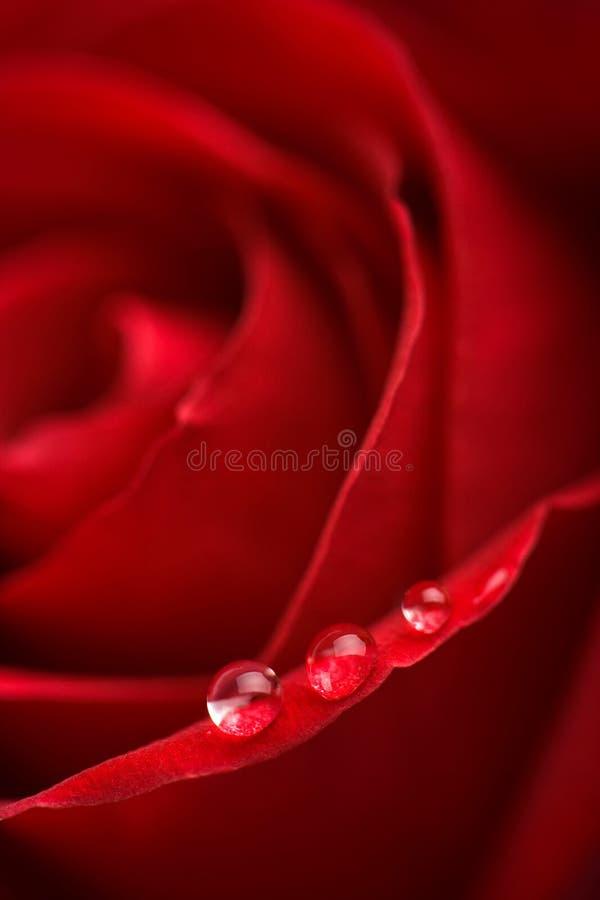 Il colore rosso di Beatuful è aumentato con le goccioline di acqua fotografie stock