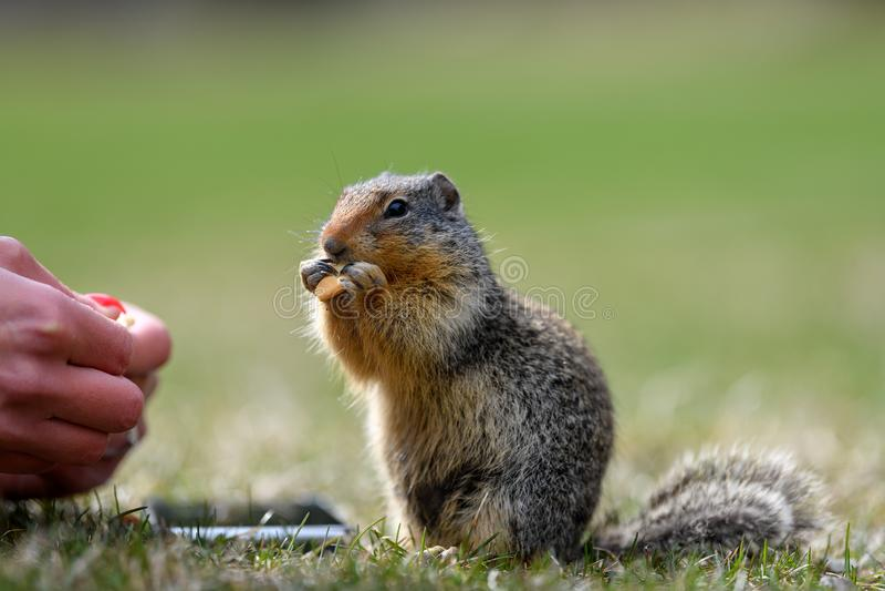 Il columbianus colombiano di Urocitellus dello scoiattolo a terra sta elemosinando un turista femminile alimento ed appena un poc immagine stock libera da diritti