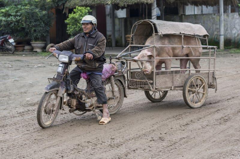 Il commerciante sul motociclo porta il suo verro alla scrofa procreare fotografie stock