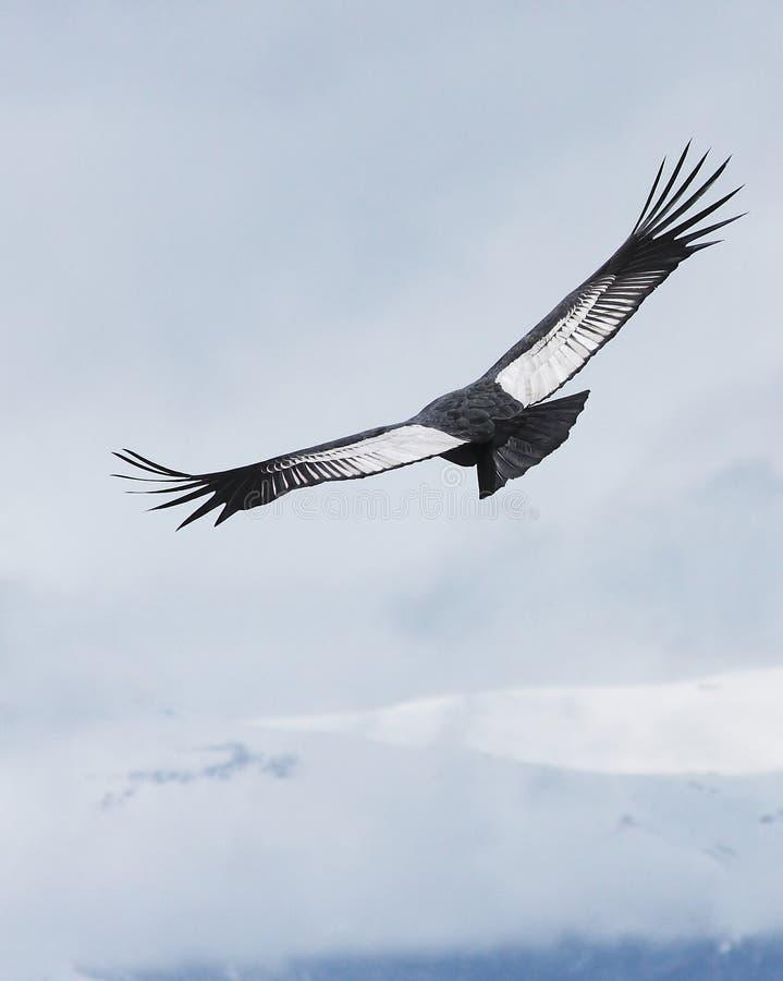 Il condor andino sale sopra Bariloche, Argentina immagini stock