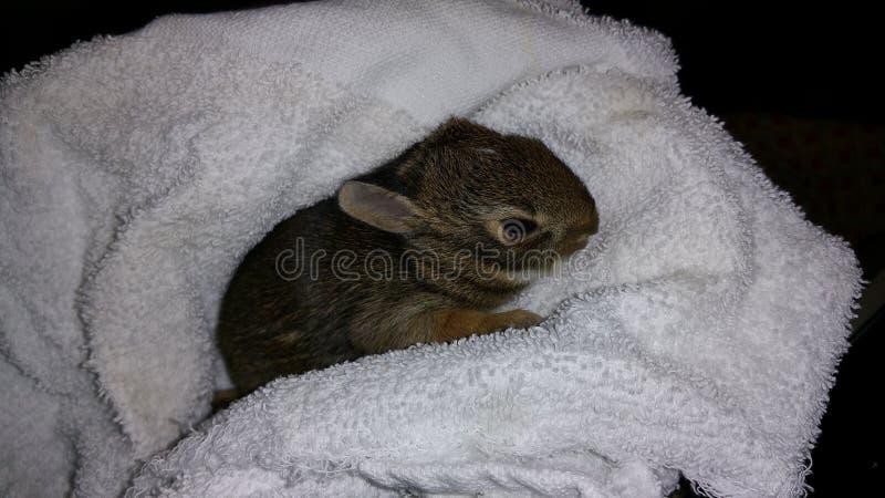 Il coniglio di silvilago del bambino ha avvolto in Terry Blanket fotografia stock libera da diritti