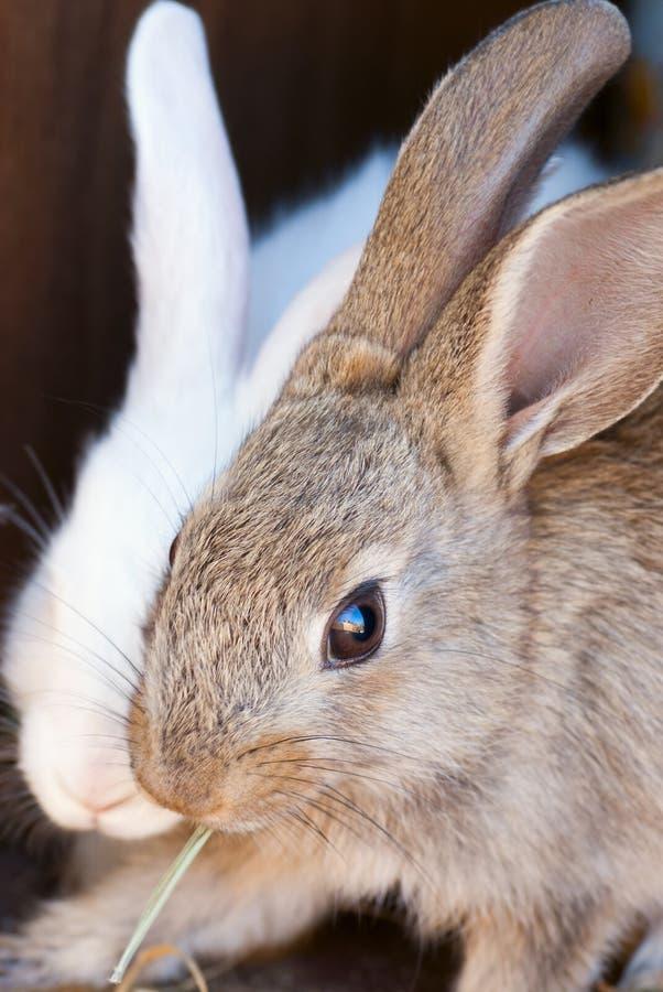 Il coniglio marrone immagini stock libere da diritti