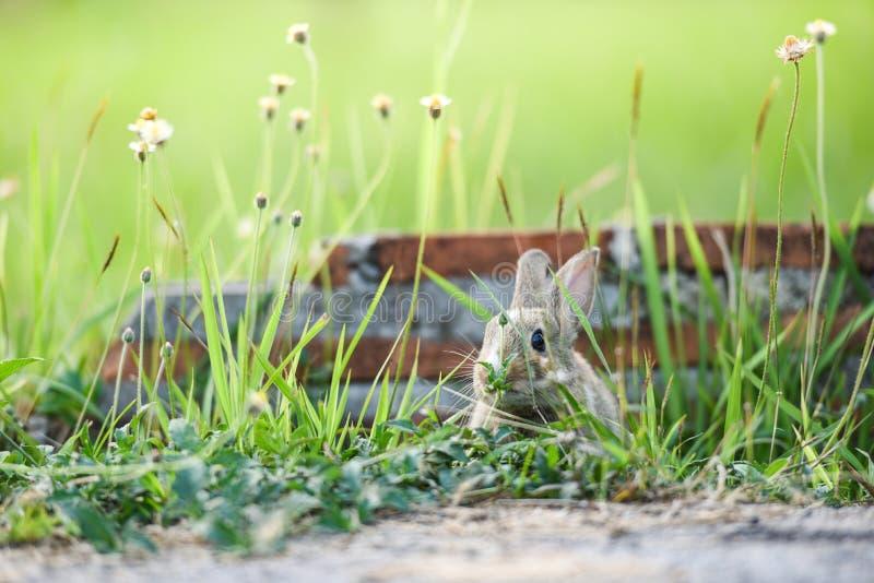 Il coniglio sveglio che si siede sul prato verde della molla del campo il coniglio di marrone del coniglietto pasce l'erba con il fotografia stock