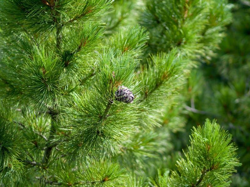 Il cono del cedro si sviluppa fra il verde dei rami coniferi fotografia stock