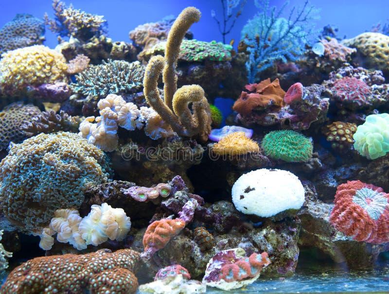 Il corallo è acquario dell'acqua salata immagini stock