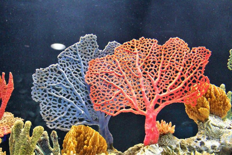 Il corallo del mare ha sommerso in acqua da un grande acquario immagini stock libere da diritti