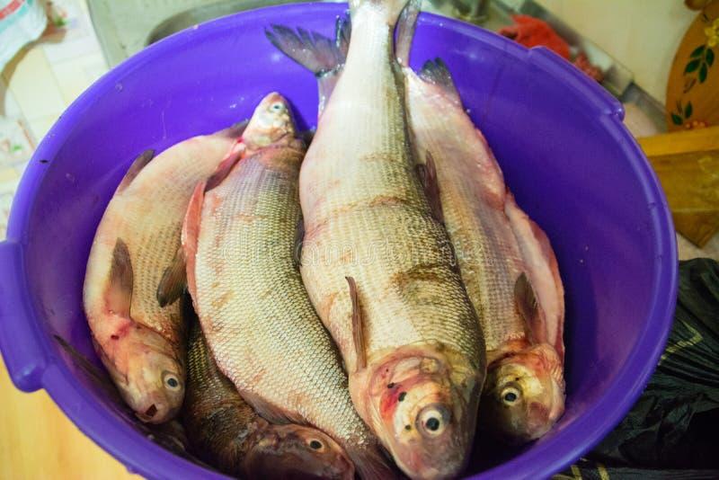 Il coregonus peled e pesce bianco di coregonus nasus per cucinare immagine stock libera da diritti