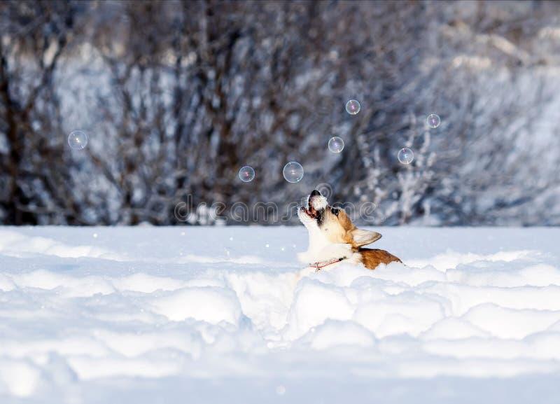 il Corgi del cucciolo deftly prende divertimento luccicante delle bolle di sapone il bello che salta nella neve bianca nell'inver immagine stock