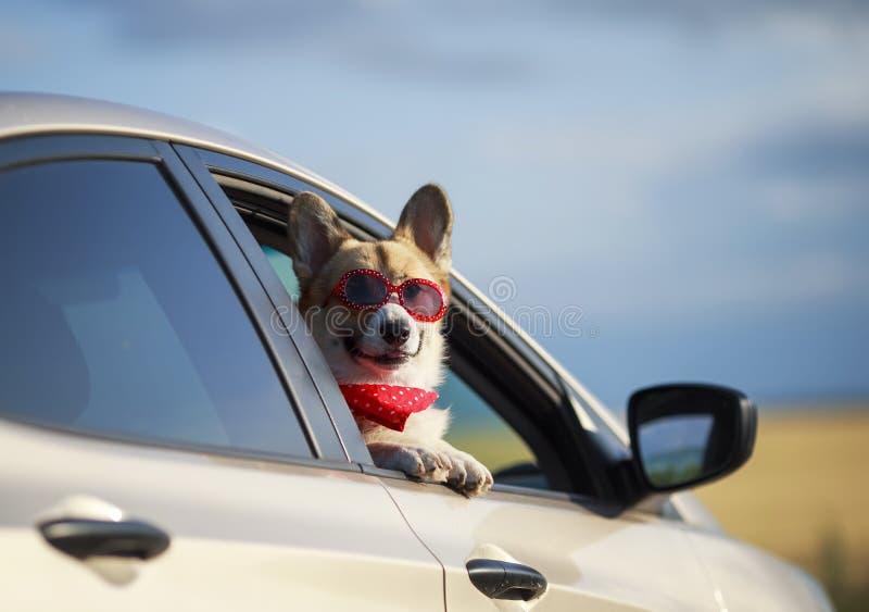 Il Corgi rosso del cucciolo di cane del passeggero nei vetri della protezione solare abbastanza attacca fuori il suo fronte con l immagini stock