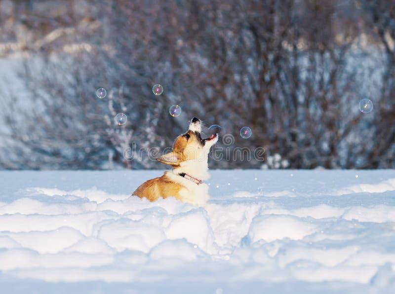 Il Corgi rosso sveglio del cucciolo deftly prende divertimento aperto delle bolle di sapone della bocca il bello che salta nella  immagine stock libera da diritti