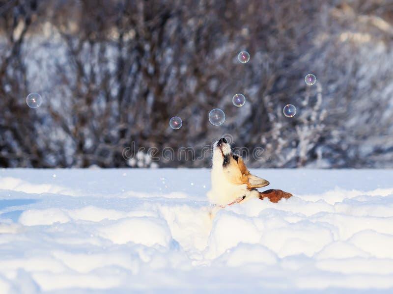 Il Corgi rosso sveglio del cucciolo deftly prende divertimento luccicante delle bolle di sapone il bello che salta nella neve bia immagini stock libere da diritti