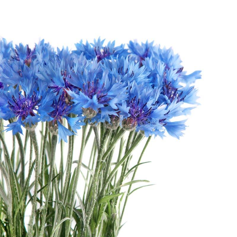 Il Cornflower fiorisce il mazzo isolato su bianco fotografie stock