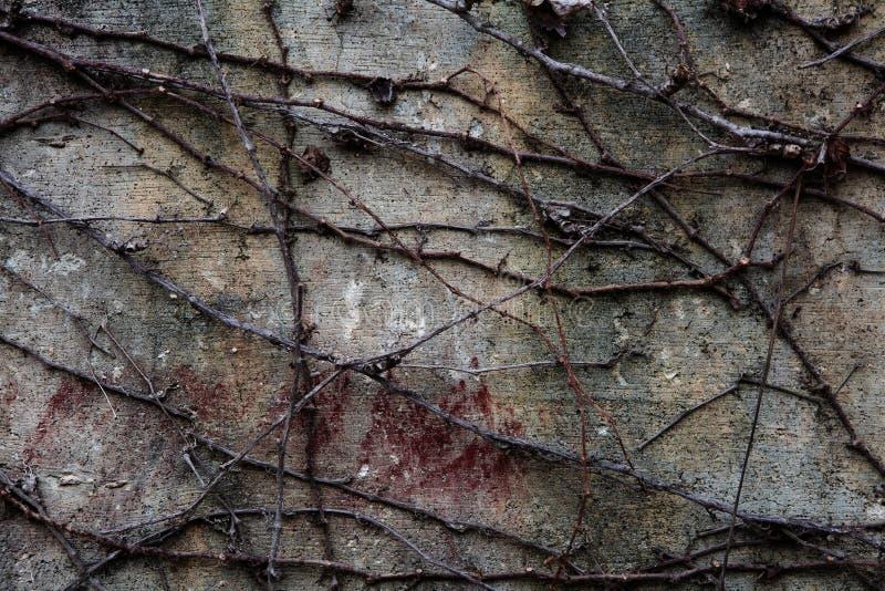 Il corridore dell'edera fotografia stock libera da diritti