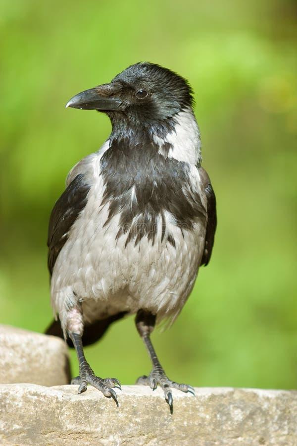Il corvo immagini stock libere da diritti