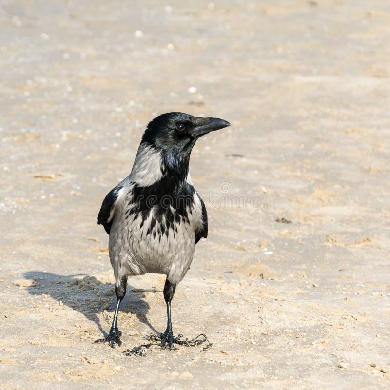 Il corvo, corvo Cornix, sta nella sabbia e distoglie lo sguardo immagini stock