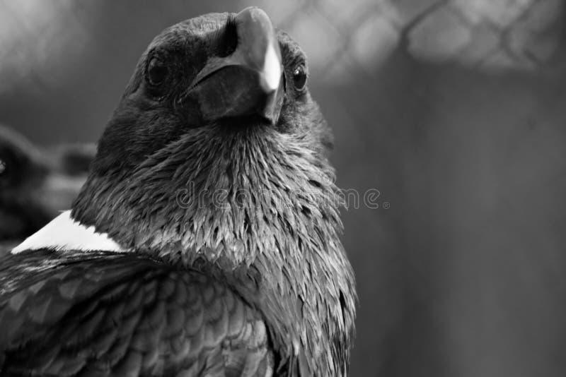 Il corvo dal collo bianco, il nero canta l'uccello fotografia stock libera da diritti
