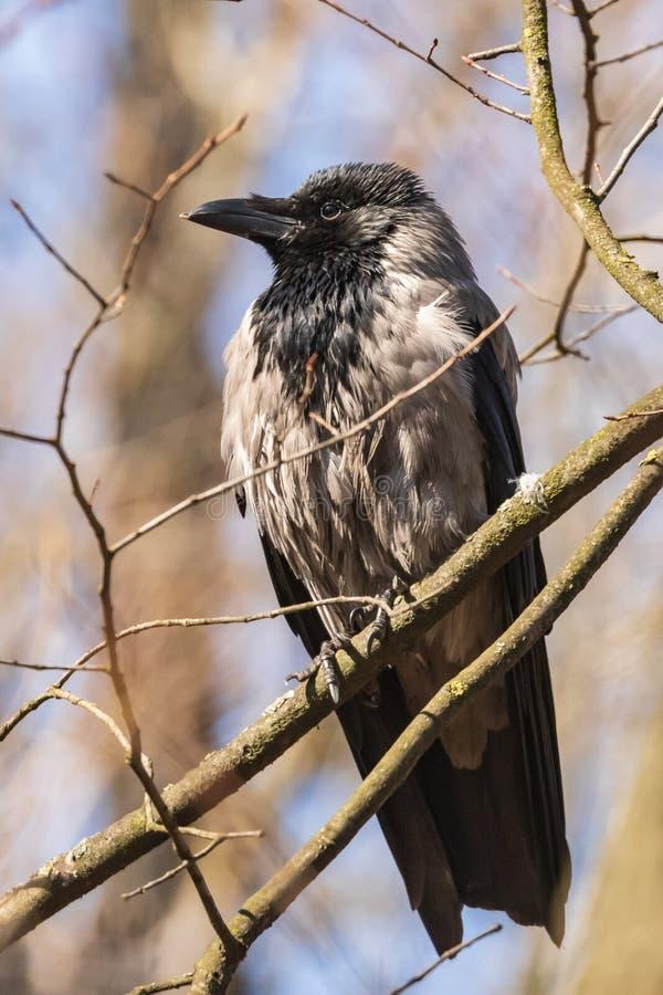 Il corvo grigio si siede su un ramo e fiero guarda avanti Giorno di molla caldo nel parco fotografia stock