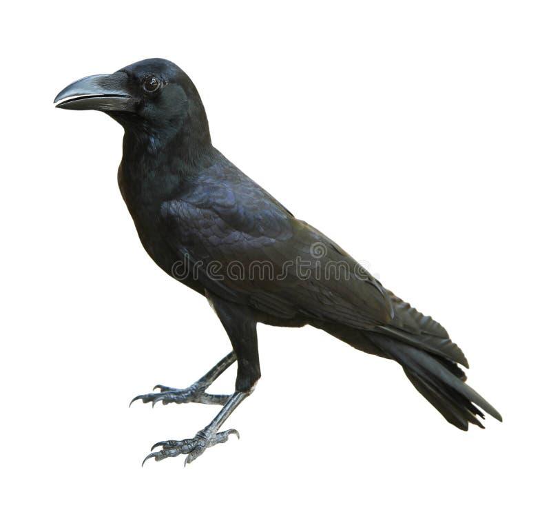 Il corvo ha isolato fotografia stock libera da diritti