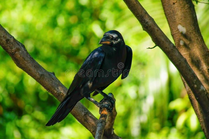 Il corvo nero sta attaccando ai rami Sta cercando la preda immagini stock libere da diritti