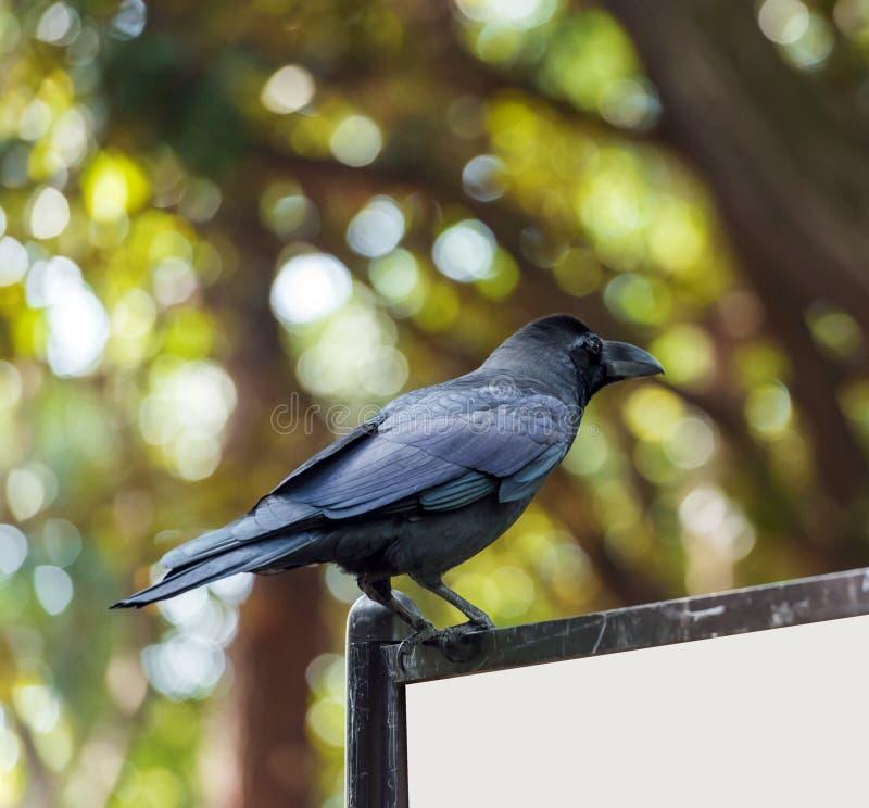 Il corvo nero sta sedendosi su un tabellone per le affissioni, Tokyo, Giappone Copi lo spazio per testo immagine stock libera da diritti