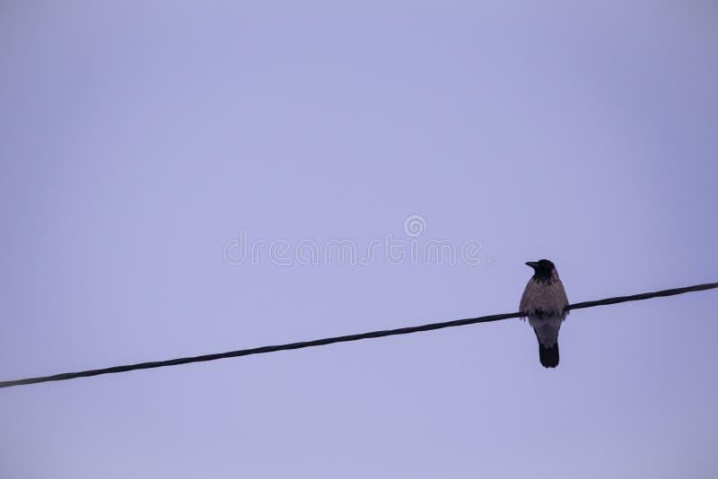 Il corvo si siede sulla linea elettrica immagini stock
