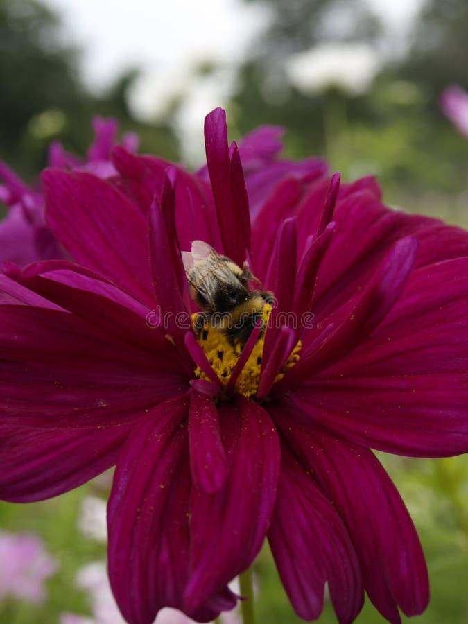 Il cosmos bipinnatus fa doppio clic su 12 misti fotografia stock libera da diritti