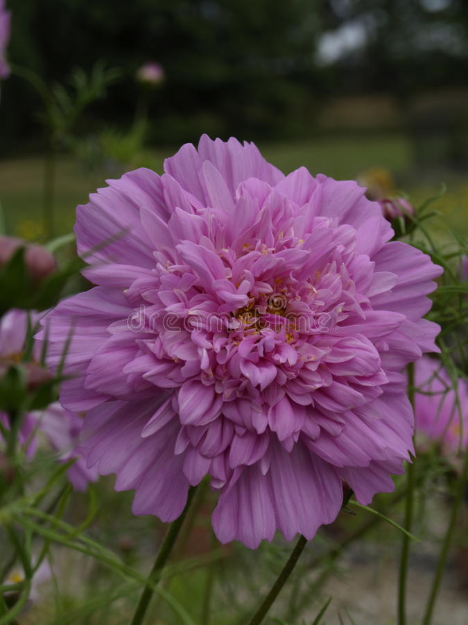 Il cosmos bipinnatus fa doppio clic su Rose Bonbon 02 immagine stock libera da diritti