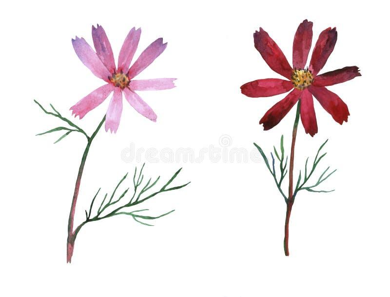 Il cosmos bipinnatus rosa e porpora, ha chiamato comunemente l'universo del giardino o l'aster del messicano illustrazione vettoriale