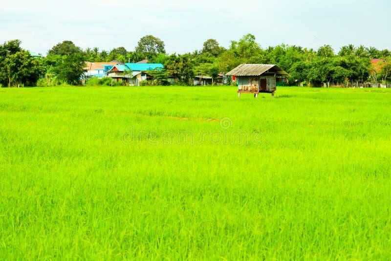 Il cottage ? circondato dalle risaie e dall'albero verdi immagine stock libera da diritti