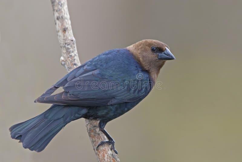 Il Cowbird dalla testa Brown maschio, ater del Molothrus, si è appollaiato fotografia stock