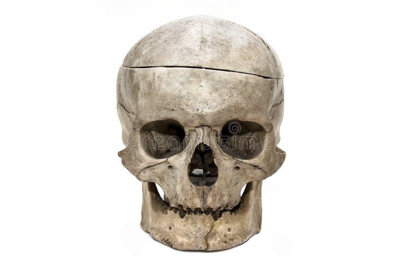 Il cranio umano dalla parte anteriore fotografia stock