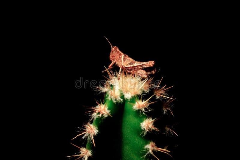 Il cricket dell'insetto sulle spine dorsali del cactus, sfida e supera i problemi di vita Superare i problemi, vincenti Copi lo s immagine stock