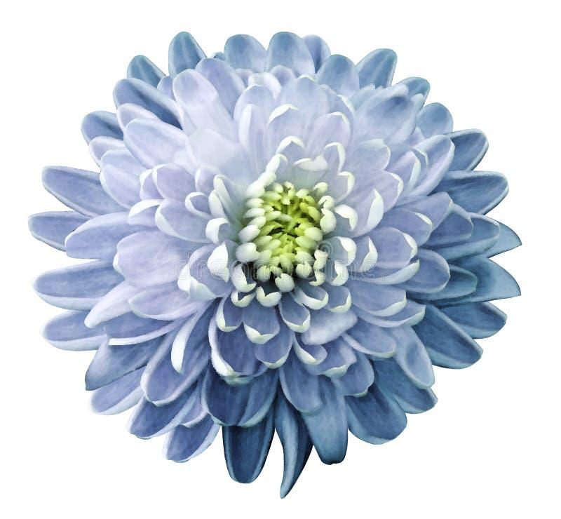 Il crisantemo del fiore dell'acquerello bianco-blu su un bianco ha isolato il fondo con il percorso di ritaglio nave Primo piano  fotografia stock