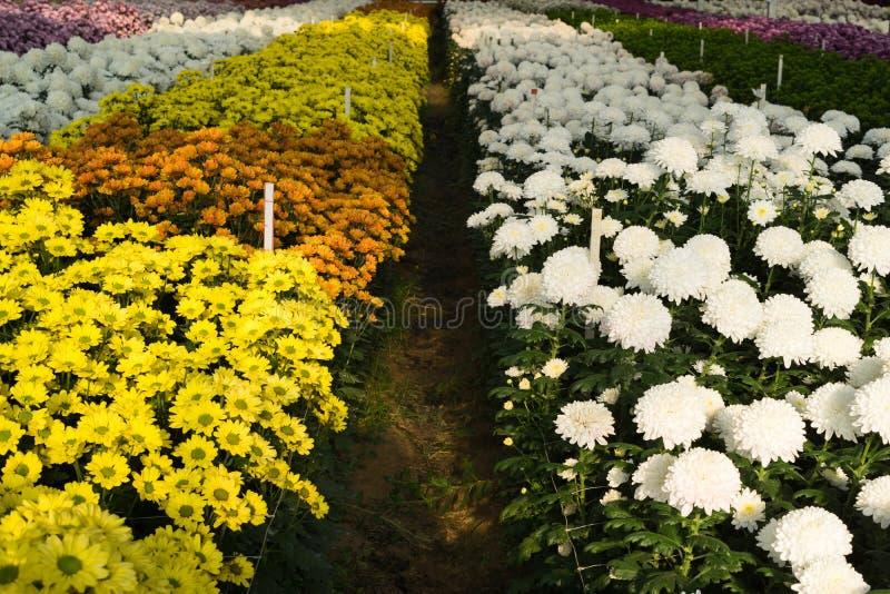 Il crisantemo giallo, bianco, arancio, viola e verde fiorisce in serra fotografie stock libere da diritti